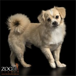 curly tailed fawn and white pekinese maltese cross