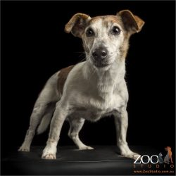 smooth coat standing jack russell