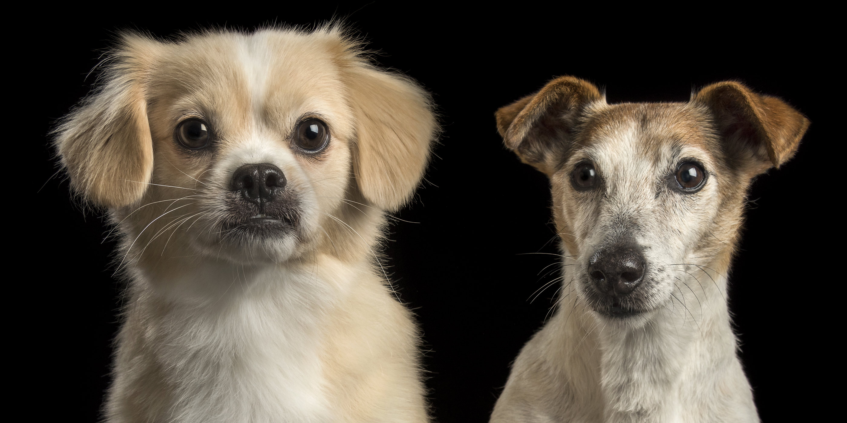 under bite pekinese cross with smooth coat jack russell