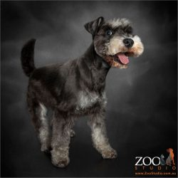 smiling face miniature schnauzer