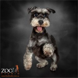 paw up high five miniature schnauzer