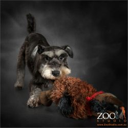 horsing around with toy miniature schnauzer