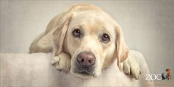 soulful faced yellow labrador