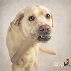 labrador chewing on cardboard roll