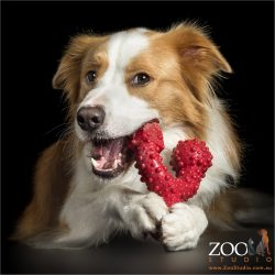 red border collie chewing on red toy