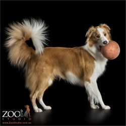 fluffy tailed red border collie