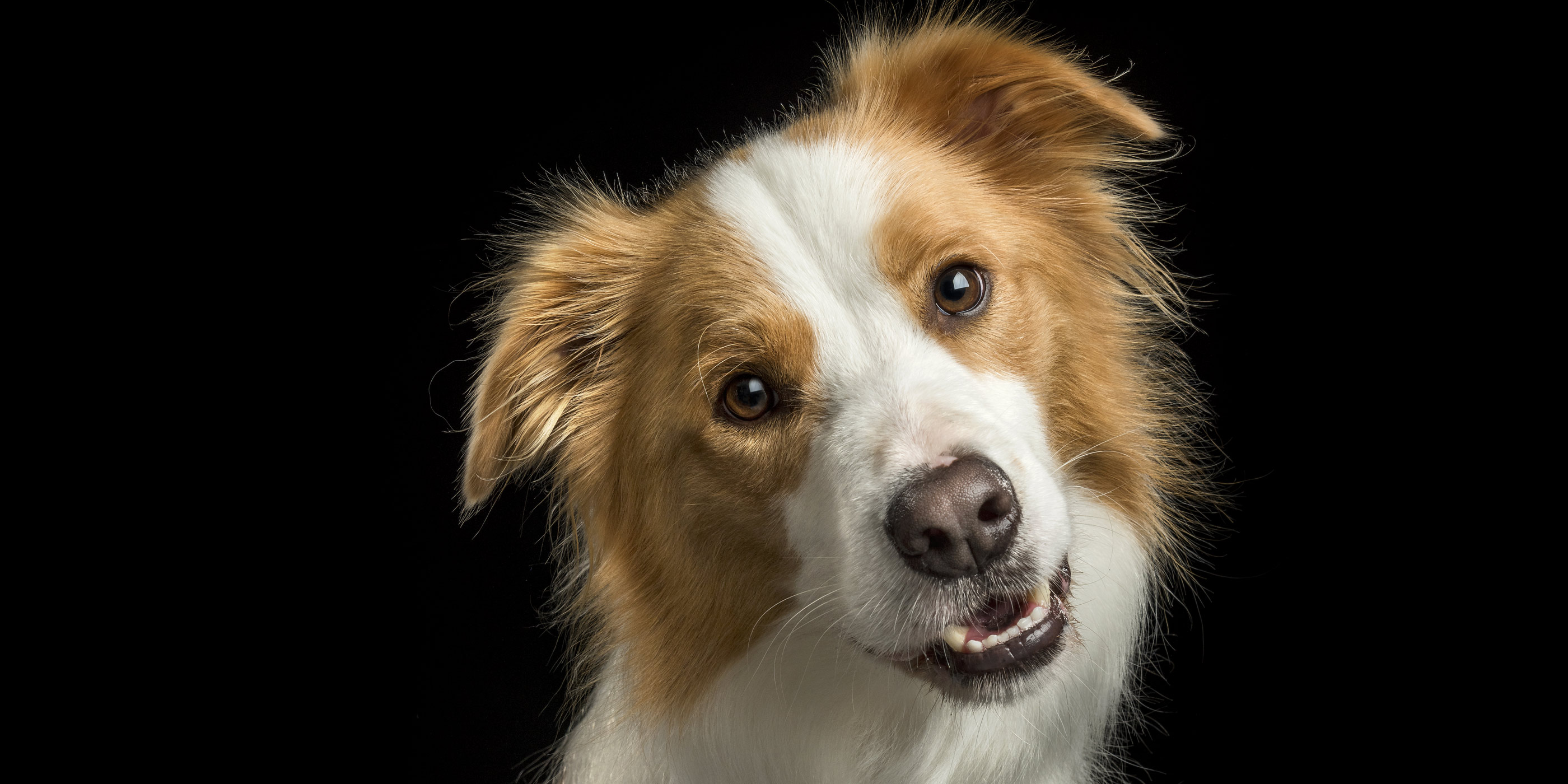 smiling red border collie