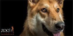 golden german shepherd face