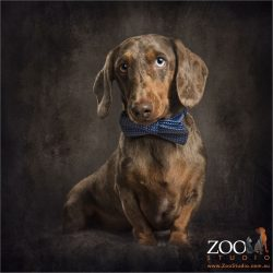 sitting dachshund in blue bow tie