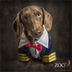 dapple dachshund wearing captain uniform