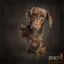 dapple dachshund high five