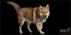 green ball in mouth german shepherd