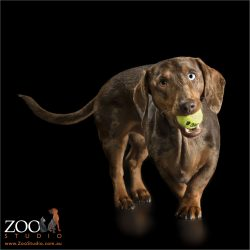 dapple dachshund with yellow ball in mouth