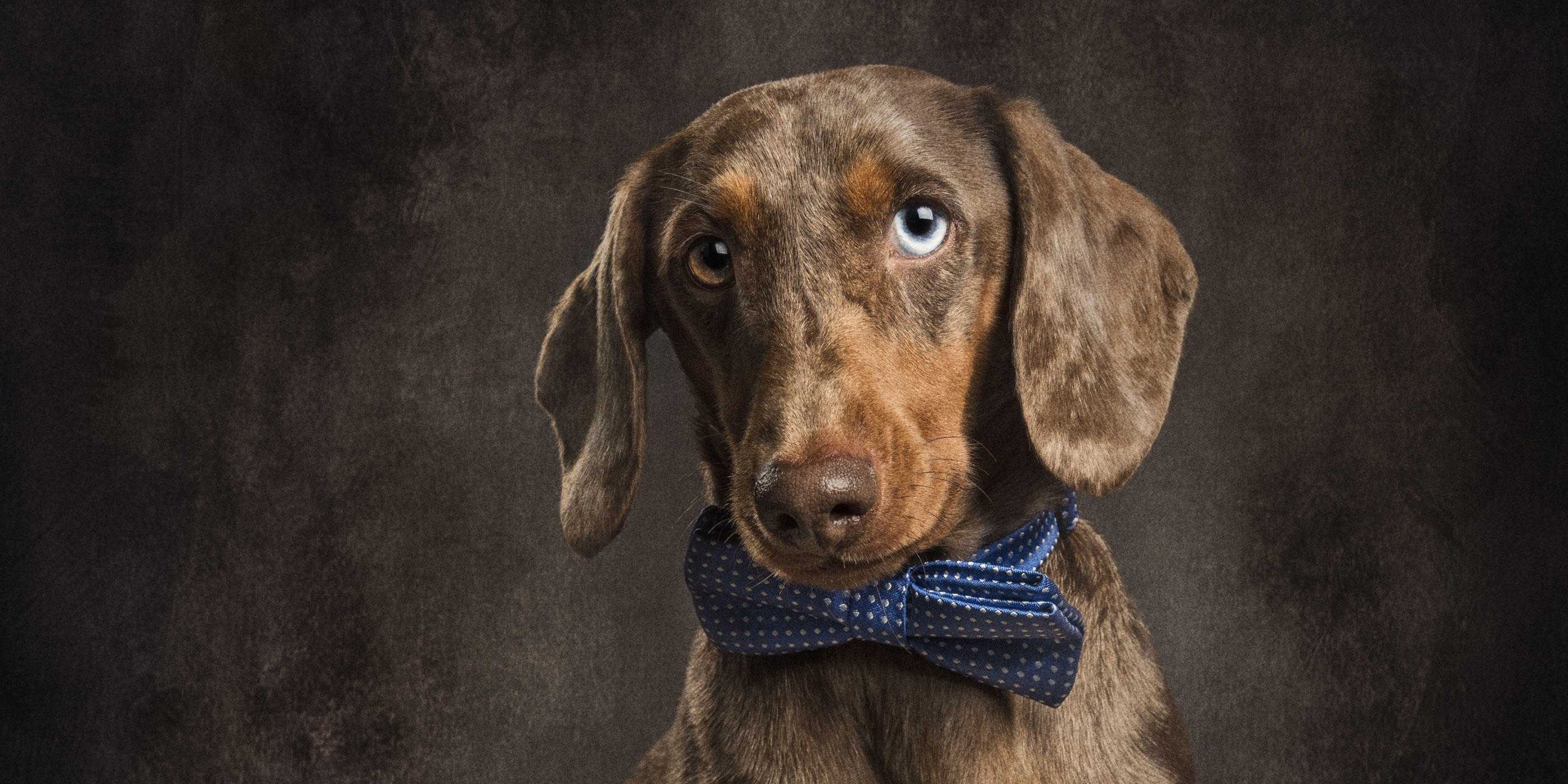 Dapple dachshund in bow tie