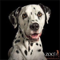 dalmatian with tear drop under eye