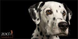 head shot dalmatian boy
