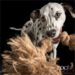 dalmatian playing with rope