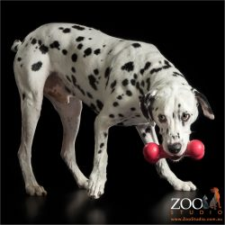 dalmatian with red kong