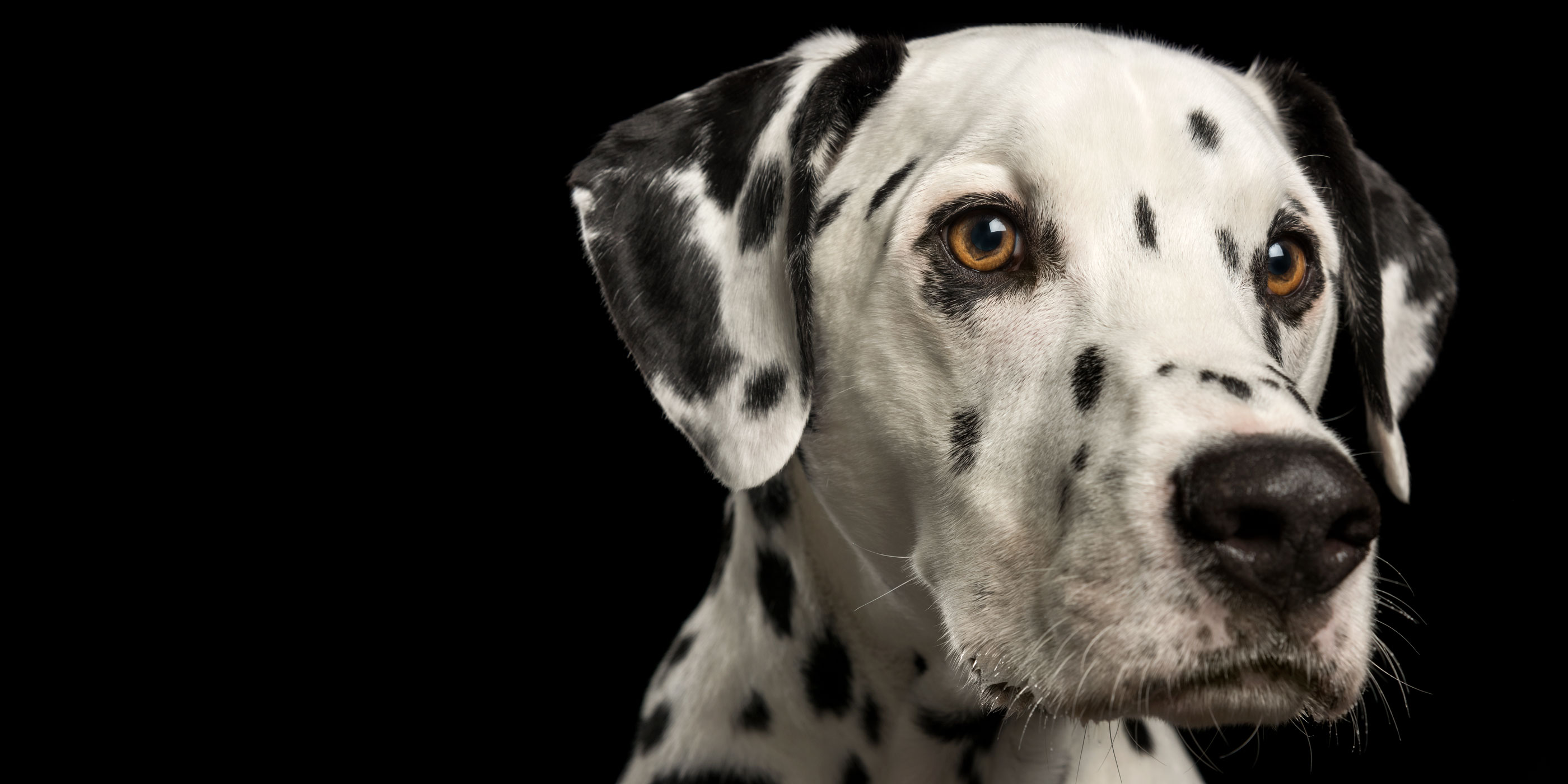 close up dalmatian face