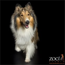 walking and smiling sable rough collie