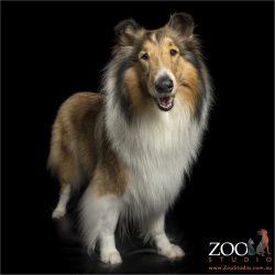 long coat sable rough collie