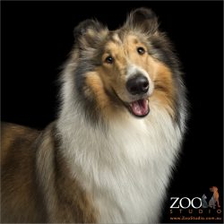 smiling sable rough collie