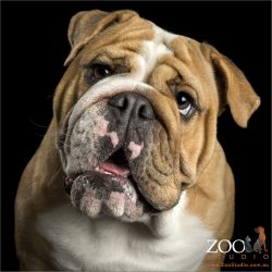 talking english bulldog