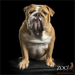 rolls of fur english bulldog