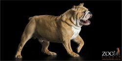 brown and white english bull dog