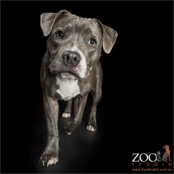 walking blue english staffordshire terrier
