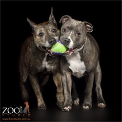 tennis ball shared between two staffies
