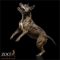 leaping brindle american staffordshire terrier