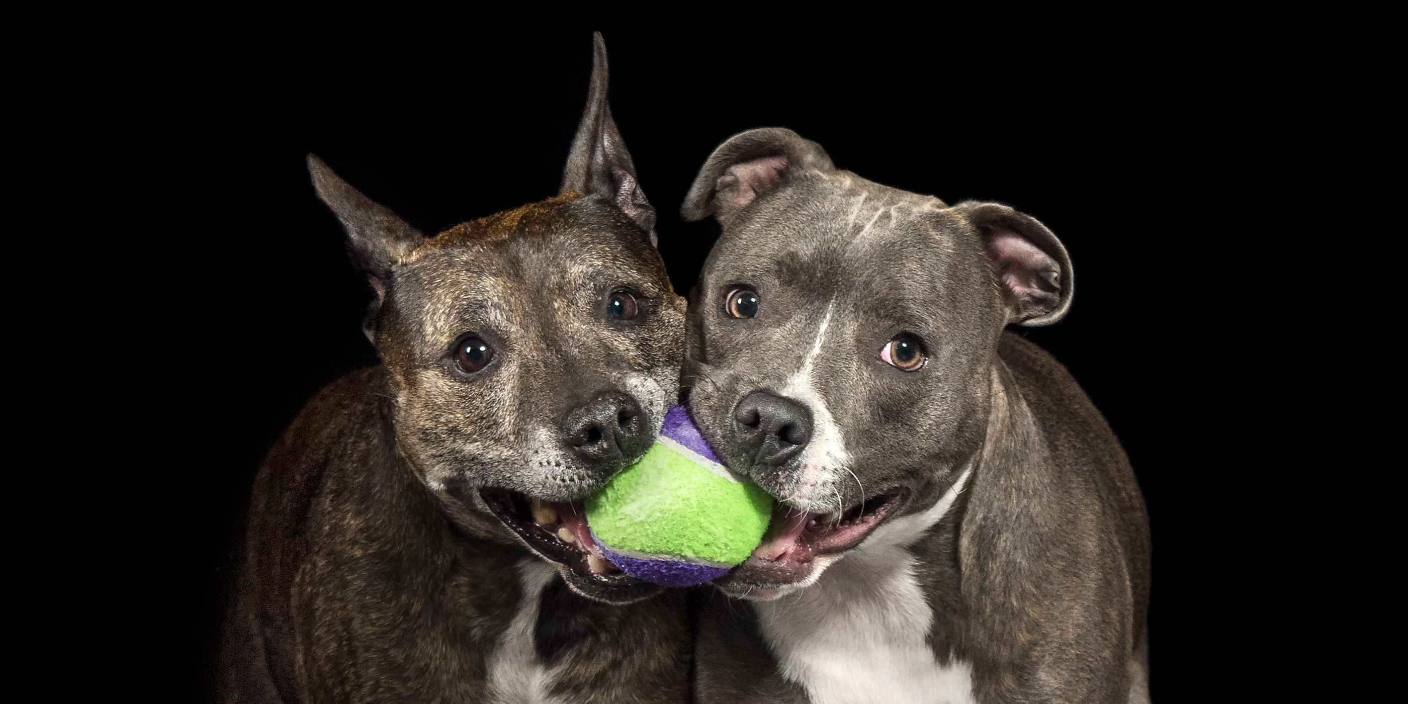 ball in mouth english and american staffies