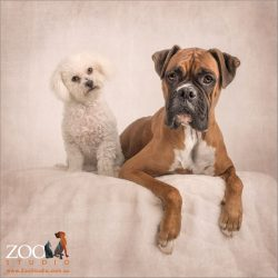small white bichon with large tan boxer