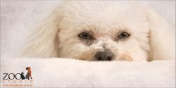 full face close up white bichon