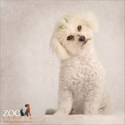 head tilt white bichon with green bows