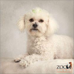 elegant sitting white bichon