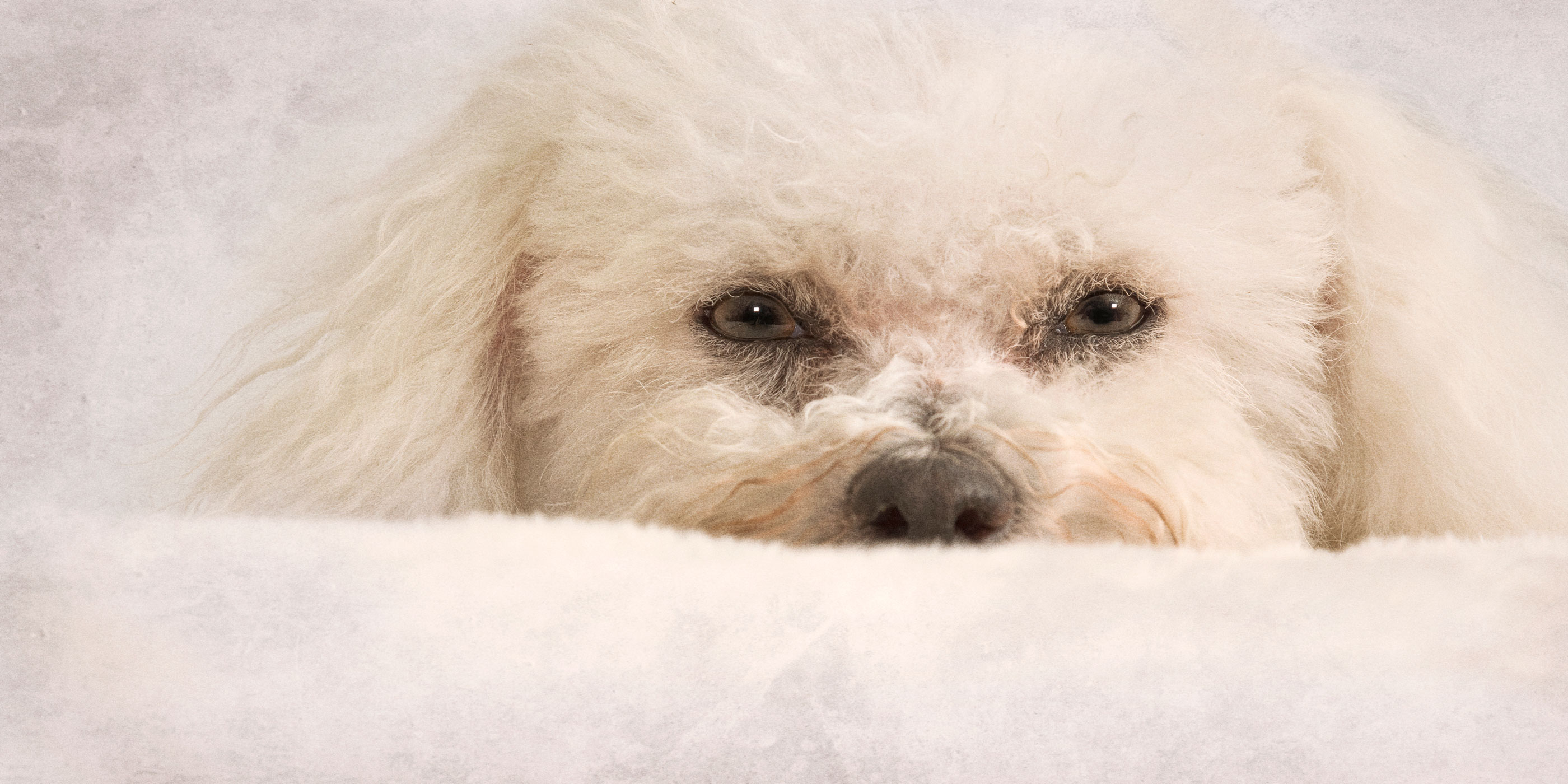 face close up white bichon