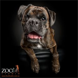 smiling faced brindle boxer