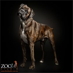 standing tall brindle boxer