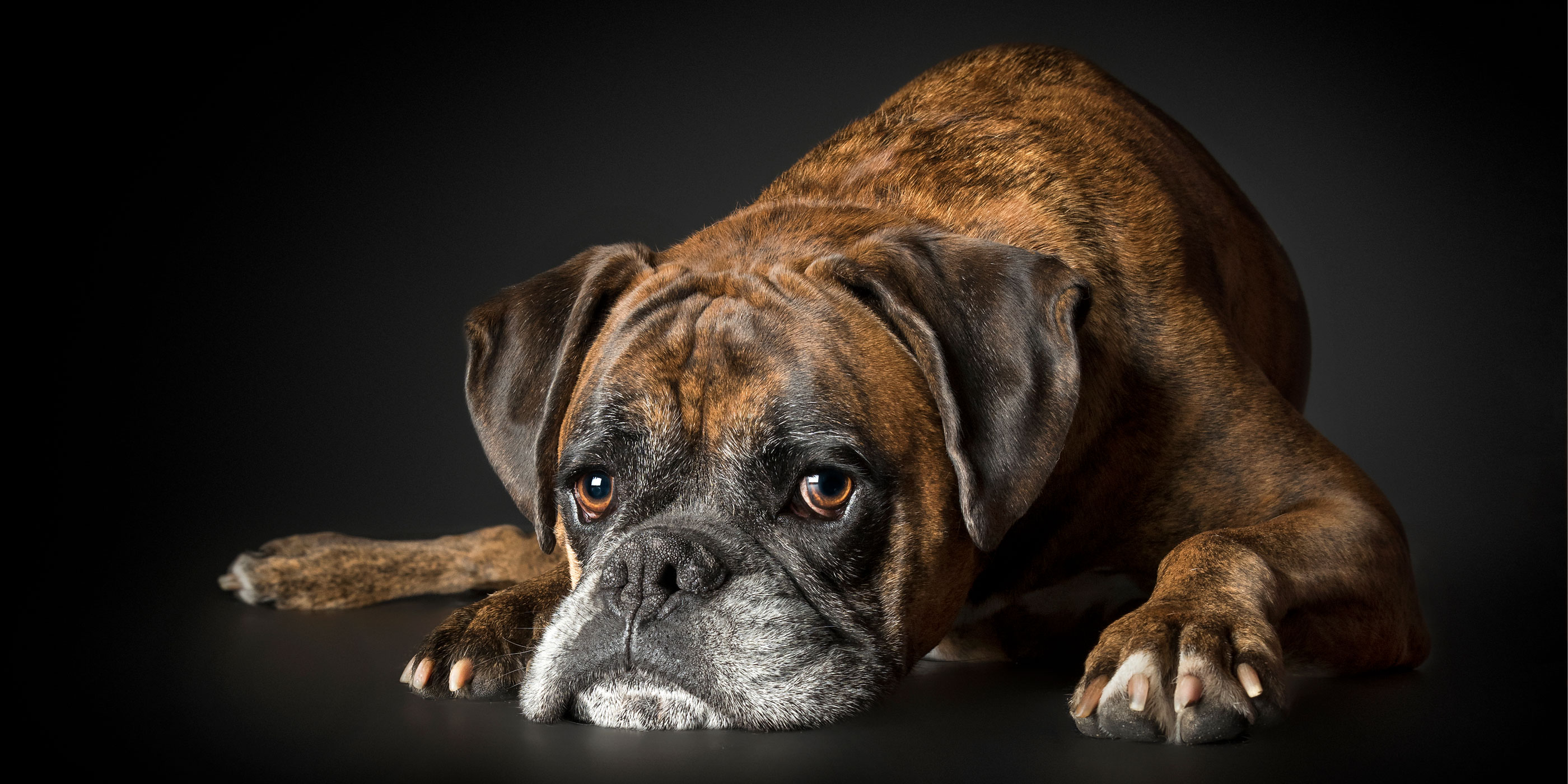 head down brindle boxer