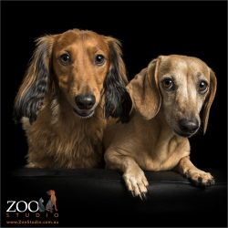 long-haired and short-haired mini dachshunds
