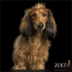 long-haired mini dachshund with mohawk