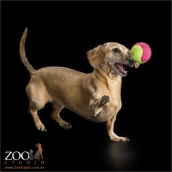 mini dachshund playing with large pink ball