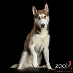 sitting brown and white husky