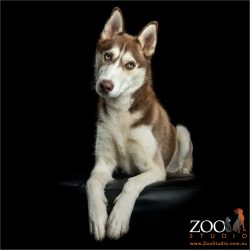 brown and white sitting husky