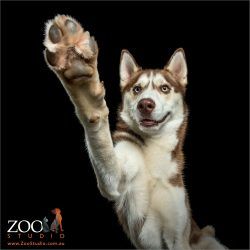high five husky