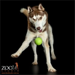 brown and white husky chasing ball