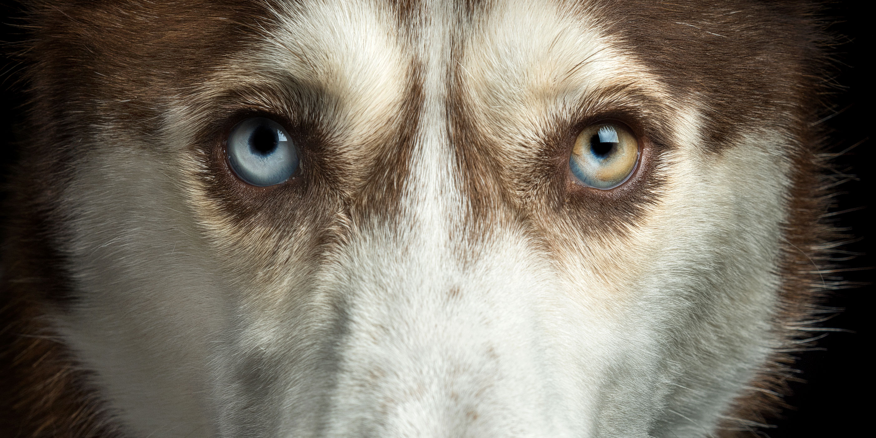 blue and brown eyed husky