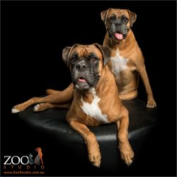 two red boxers with tongues out